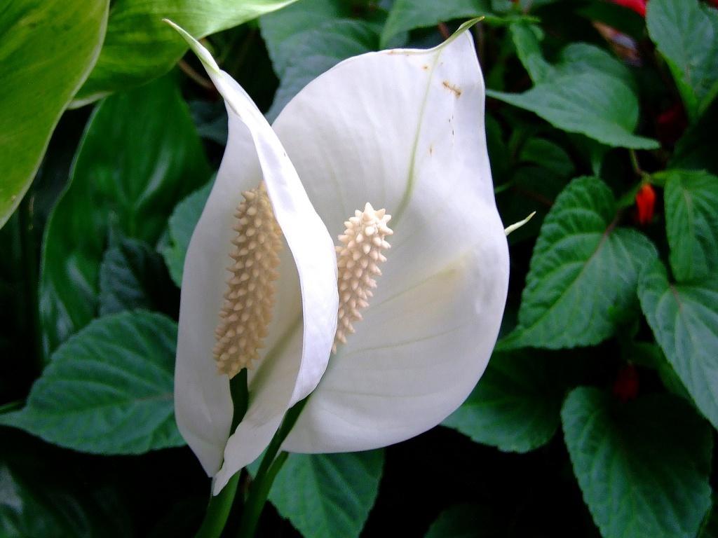 Цветок женское счастье пересадка