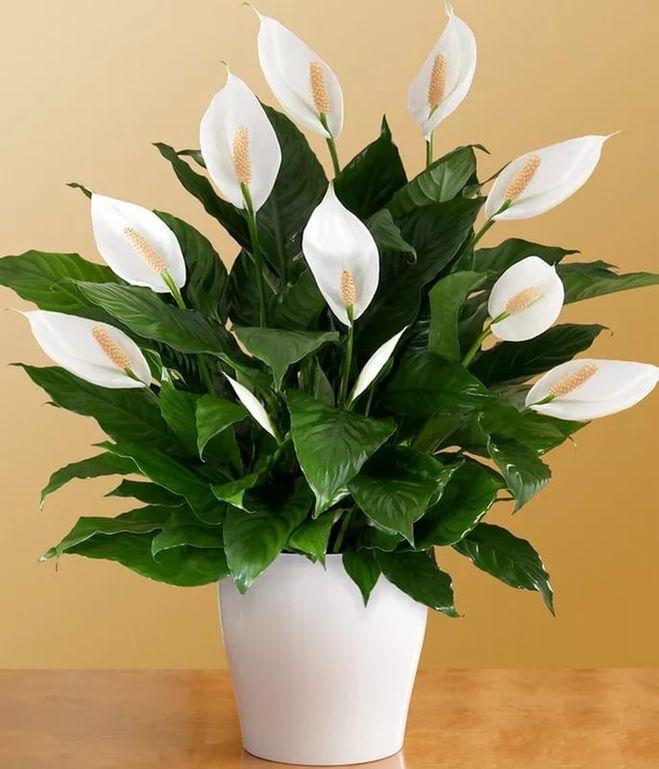 Женское счастье комнатные цветы