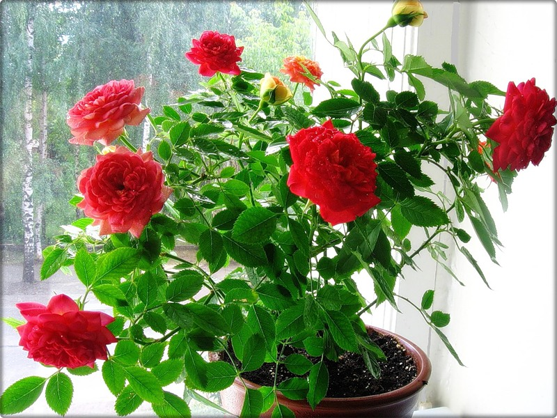 Розы погибают