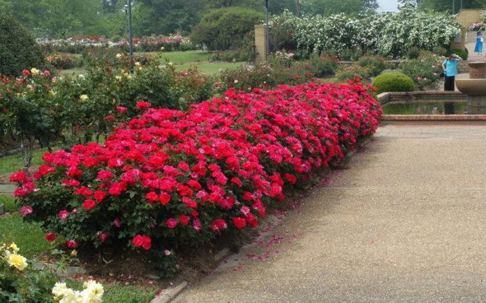 Розы на приусадебном участке